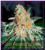 Delicious CBD Jam Female 5 Marijuana Seeds